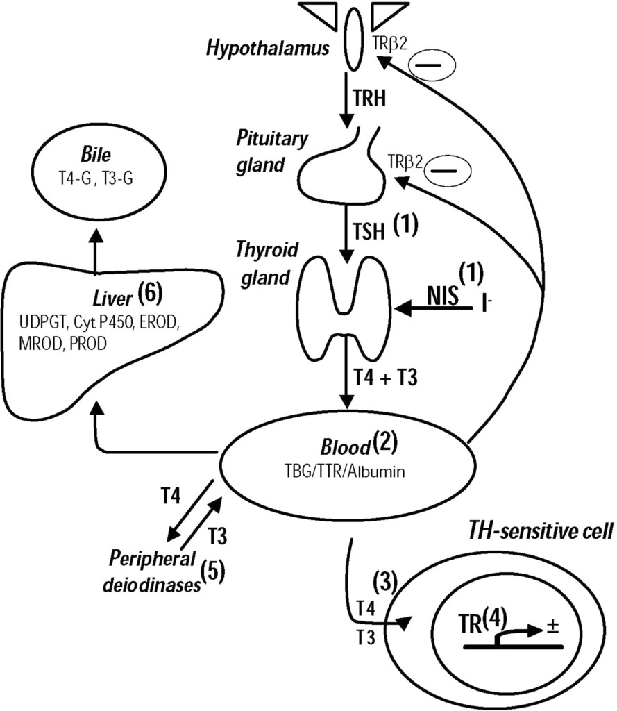 Environmental Chemicals And Thyroid Function In European Journal