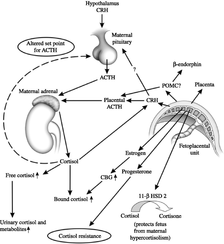 Pregnancy And Pituitary Disorders In: European Journal Of