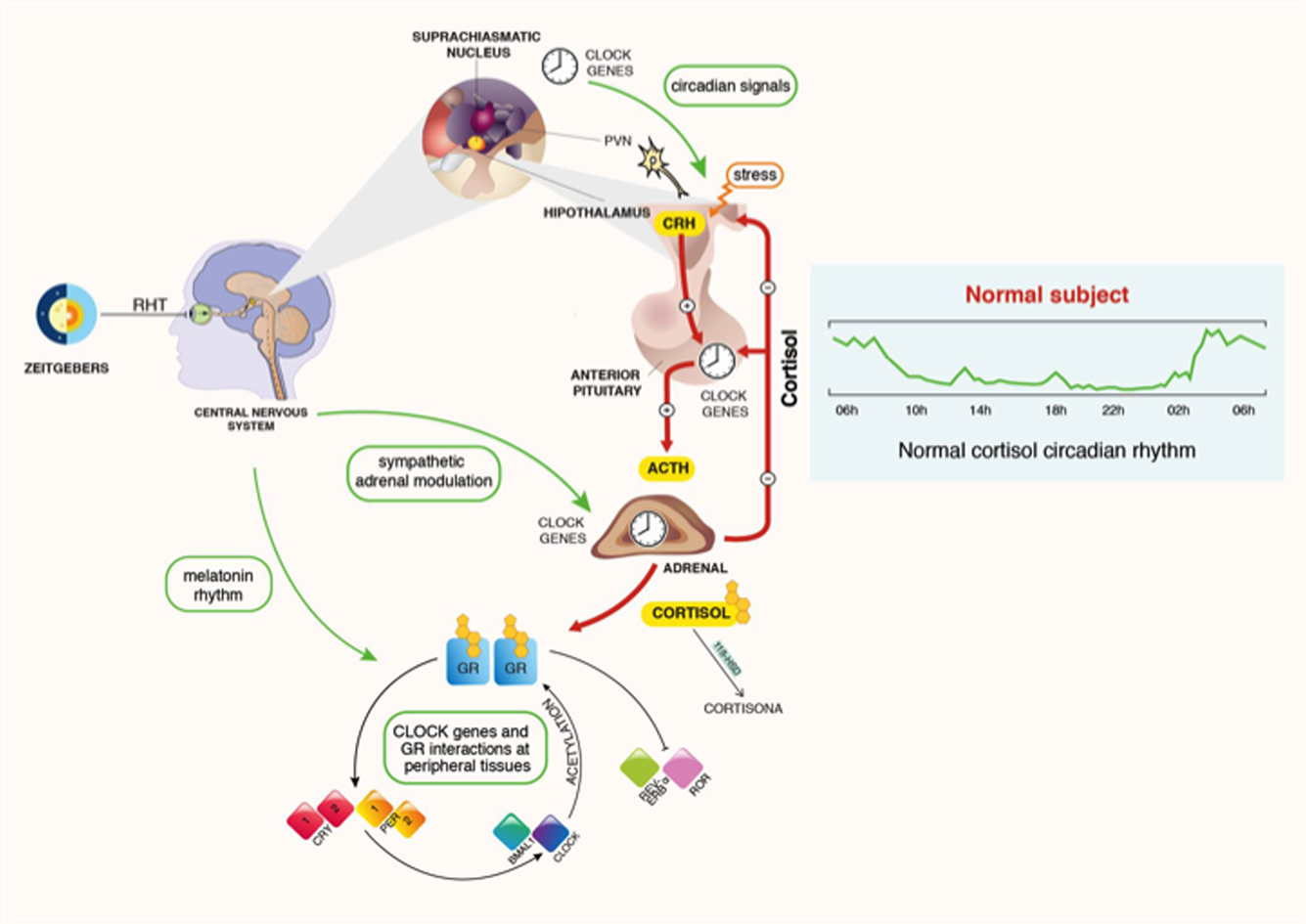 MECHANISMS IN ENDOCRINOLOGY: A sense of time of the glucocorticoid
